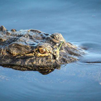 Floating Alligator, Alligator Investing