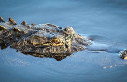 Profile of American Alligator floating in Everglades National Park, Florida